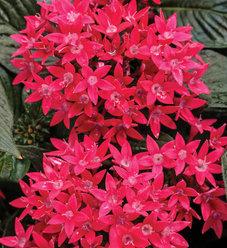 Sunstar™ Red - Egyptian Star Flower - Pentas lanceolata