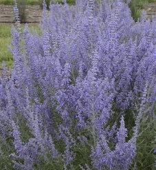'Denim 'n Lace' - Russian Sage - Perovskia atriplicifolia