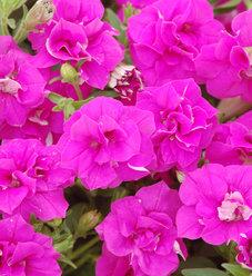 Surfinia® Summer Double™ Rose - Petunia hybrid