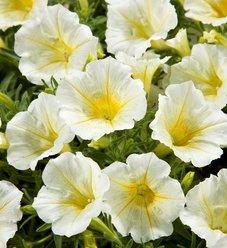 Blanket® Yellow - Petunia hybrid