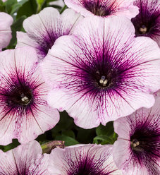 Good and Plenty™ Blue Ice - Petunia hybrid