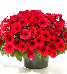 Good and Plenty™ Red - Petunia hybrid