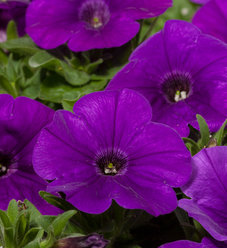 Good and Plenty™ Blue - Petunia hybrid