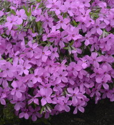 'Magenta Sprite' - Hybrid Spring Phlox - Phlox hybrid