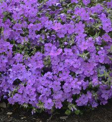 'Purple Sprite' - Hybrid Spring Phlox - Phlox hybrid