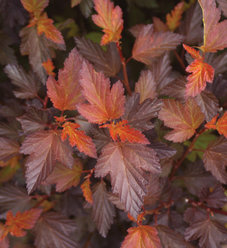 Coppertina® - Ninebark - Physocarpus opulifolius