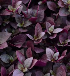 Plum Dandy™ - Alternanthera hybrid