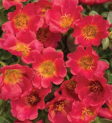 Mojave® Red - Purslane - Portulaca umbraticola