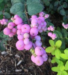 Proud Berry® - Coral Berry - Symphoricarpos sp.