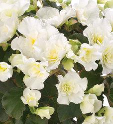 Glory White - Rieger Begonia - Begonia x hiemalis