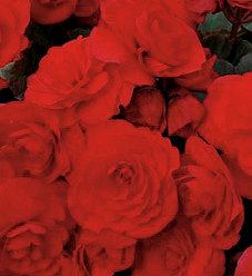 Solenia® Red Orange - Rieger Begonia - Begonia x hiemalis