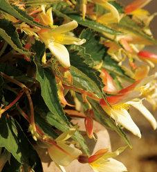 Summerwings® Vanilla - Tuberous Begonia - Begonia hybrid