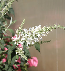 Inspired White™ - Butterfly bush - Buddleia x