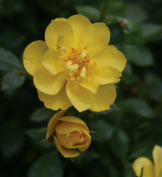 Oso Easy Lemon Zest® - Landscape Rose - Rosa x