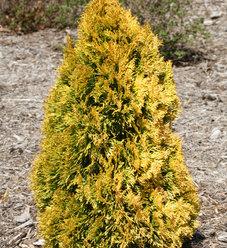 'Filips Magic Moment' - Arborvitae - Thuja occidentalis