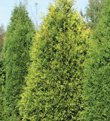 Polar Gold® - Arborvitae - Thuja occidentalis