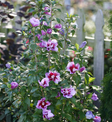 Purple Pillar® - Rose of Sharon - Hibiscus syriacus