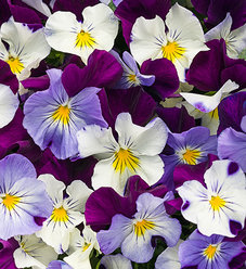 Anytime® Sugarplum™ - Pansiola - Viola x wittrockiana