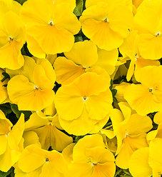 Anytime® Sunlight - Pansiola - Viola x wittrockiana
