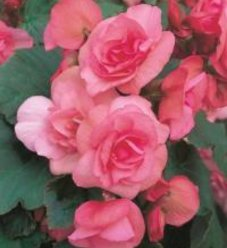 Solenia® Light Pink - Rieger Begonia - Begonia x hiemalis