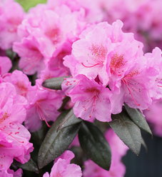 Black Hat® - Rhododendron x