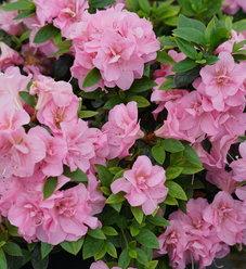 Perfecto Mundo™ Double Pink - Reblooming Azalea - Rhododendron x