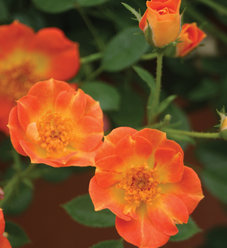 Oso Easy® Paprika - Rose - Rosa sp.