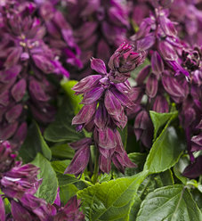 Ablazin'® Purple - Salvia splendens