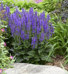 Color Spires® 'Indiglo Girl' - Perennial Salvia - Salvia hybrid