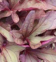 'Sweet Caroline Red' - Sweet Potato Vine - Ipomoea batatas