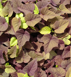 'Sweet Caroline Sweetheart Red' - Sweet Potato Vine - Ipomoea batatas