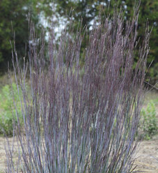 Prairie Winds® 'Blue Paradise' - Little Bluestem - Schizachyrium scoparium