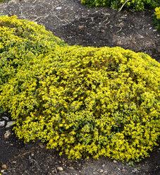 Rock 'N Grow® 'Yellow Brick Road' - Stonecrop - Sedum hybrid