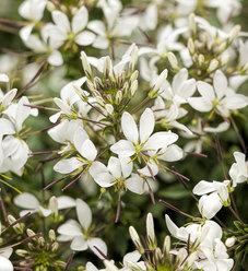 Señorita Blanca® - Spider Flower - Cleome hybrid