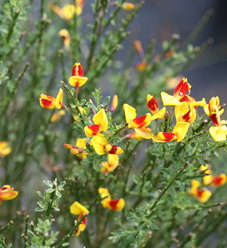 Sister Disco® - Scotch Broom - Cytisus scoparius