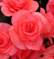 Solenia® Dark Pink - Rieger Begonia - Begonia x hiemalis