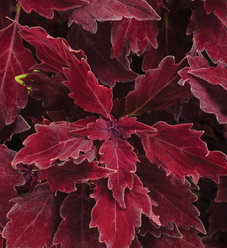 ColorBlaze® Royale Cherry Brandy™ - Coleus - Solenostemon scutellarioides