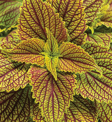 ColorBlaze® Golden Dreams™ - Coleus - Solenostemon scutellarioides