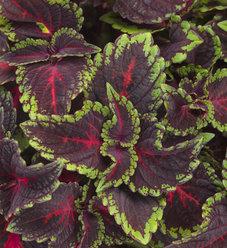ColorBlaze® Torchlight™ - Coleus - Solenostemon scutellarioides