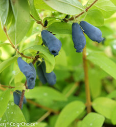Sugar Mountain® Eisbar - Sweetberry honeysuckle - Lonicera caerulea