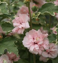 Sugar Tip®  - Rose of Sharon - Hibiscus syriacus