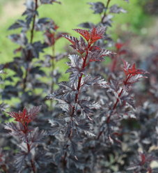 Summer Wine® Black - Ninebark - Physocarpus opulifolius
