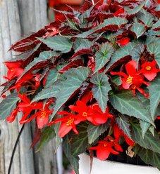 Summerwings® Dark Elegance - Tuberous Begonia - Begonia hybrid