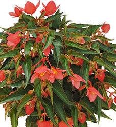 Summerwings® Pink Elegance - Tuberous Begonia - Begonia boliviensis