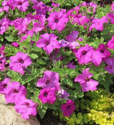 Surfinia® Sumo Bold Lilac - Petunia hybrid