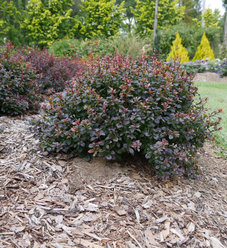 Sunjoy Todo™ - Barberry - Berberis x