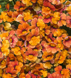 Sunsatia® Blood Orange™ - Nemesia hybrid
