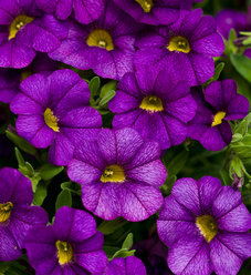 Superbells® Blue - Calibrachoa hybrid