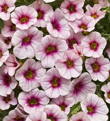 Superbells® Cherry Blossom - Calibrachoa hybrid
