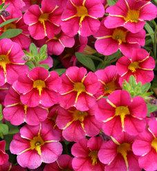 Superbells® Cherry Star - Calibrachoa hybrid